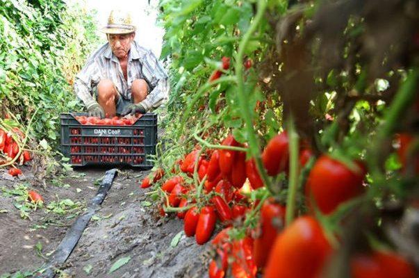 San Marzano tomaat